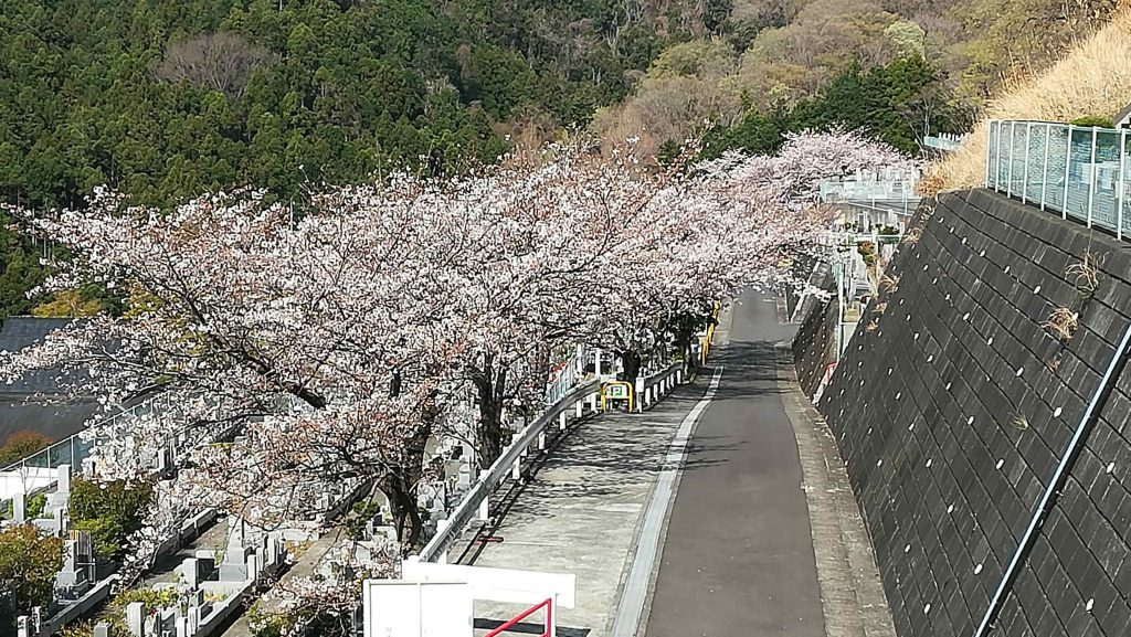 厚木霊園3月27日桜開花状況