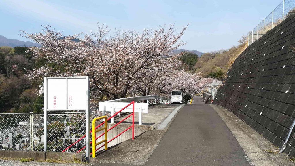 厚木霊園2021年3月27日桜開花状況