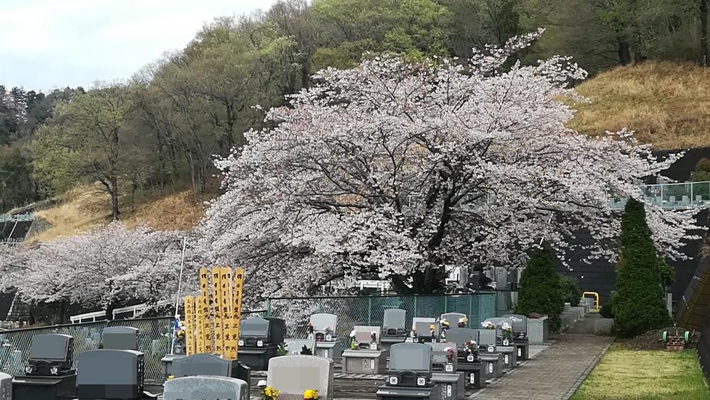 厚木霊園 桜開花状況