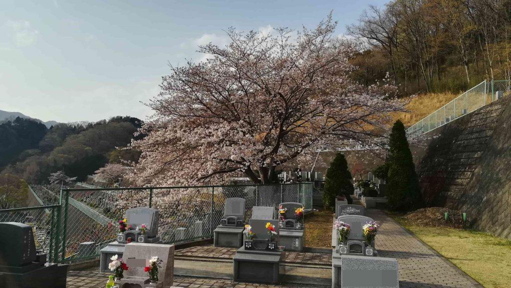 厚木霊園桜状況2021年3月27日